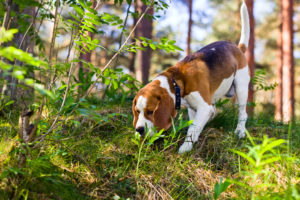 The beagle in wood searches for game