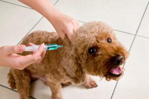 Poodle Vaccination Shot