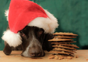 German Shorthaired Pointer sulks next to cookies left out for Santa